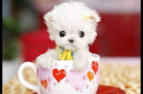 cup puppy top 6 of the most popular teacup puppies breed today 187 teacupdogdaily