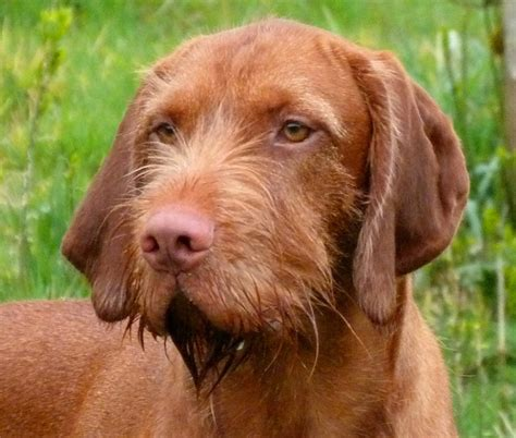 Wirehaired Vizsla Wallpapers HD Download