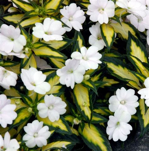 Sale White Camellia Impatiens 42 best amazing sunpatiens 174 impatiens for the sun and shade images on container