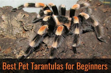 pet species best pet tarantulas for beginners pbs pet travel