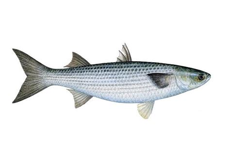 Marvelous Smoked Trout Dip #5: Gray_mullet.jpg