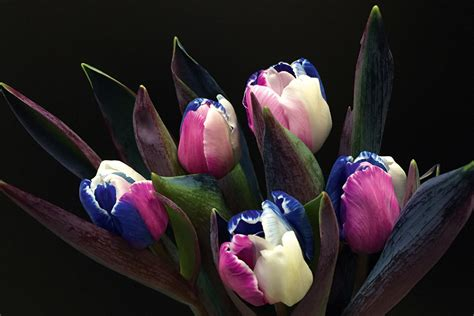 anjers tulpen happy colors anjers tulpen happy colors