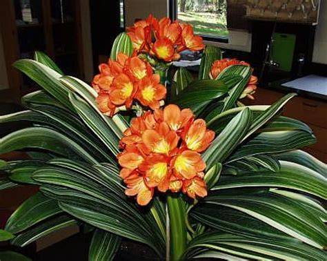 san marcos growers >solomone variegated clivia