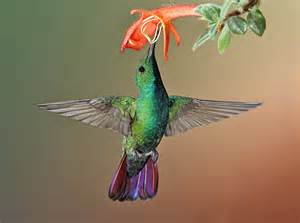 hummingbird colors top flight nature photography hummingbirds and frogs of
