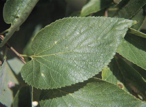trees of ohio: hackberry