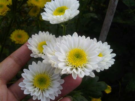 Bunga White bunga potong krisan white