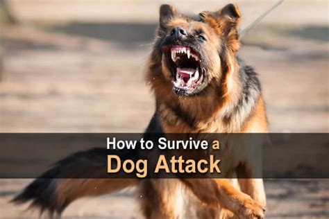 how to dogs to attack how to survive a attack survival site