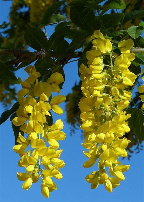 Flower Decorations laburnum golden rain tree wild flower finder