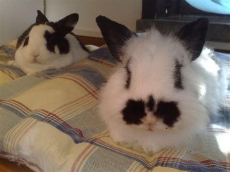 conigli nani alimentazione coniglio nano alimentazione e abitudini