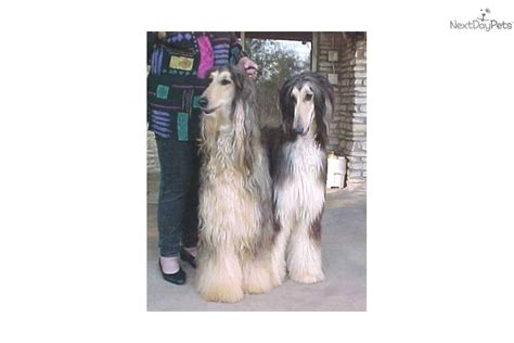 akc afghan hound puppies for sale puppies for sale from afghan hounds of mahadi member since july 2007