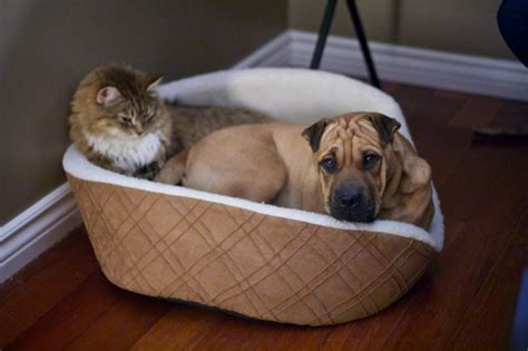 cats stealing dogs beds funny video of cats stealing dog beds travels and living