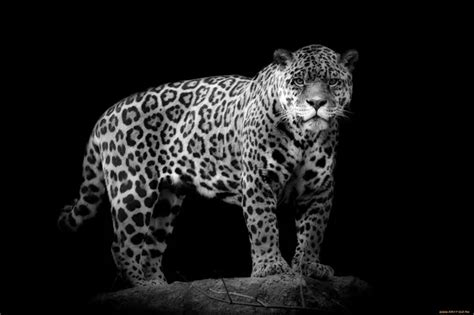 whats the difference between a leopard and a jaguar what are the differences between a cheetah a leopard and