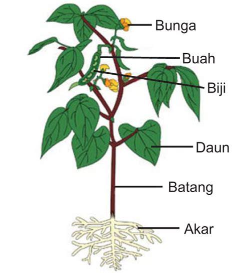 bagian bagian tumbuhan  fungsinya
