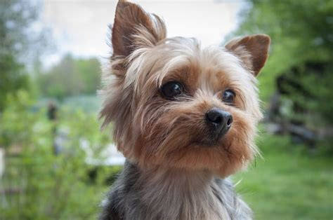 images of yorkie dogs what is the difference between a yorkie a silky terrier cuteness