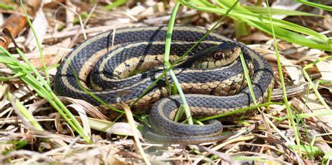 Garter Snake Urine Identify Pest Snake Infestations And Snake Problems