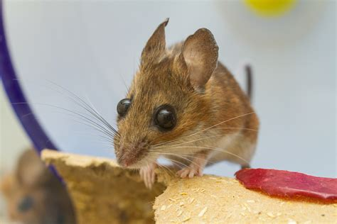 Bodypack Big Mice 1 0 Black file captive white footed mouse jpg wikimedia commons