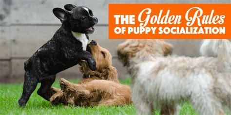 puppy socialization 6 golden of puppy socialization free bonus