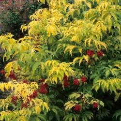 Fruit Tree Maintenance - sambucus racemosa sutherland gold