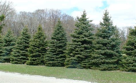 outdoor designs trees for privacy fences and windbreaks