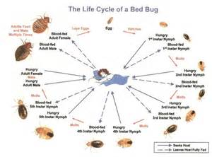 Life Cycle Of A Bed Bug Bed Bug Identification Amp Life Cycle Bed Bug Treatment