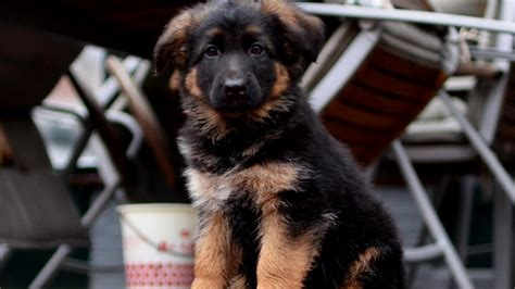 what to feed german shepherd puppy lost puppies puppies puppy