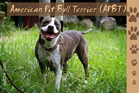 american pit bull terrier united kennel club ukc stunning facts about the different breeds of pit bulls