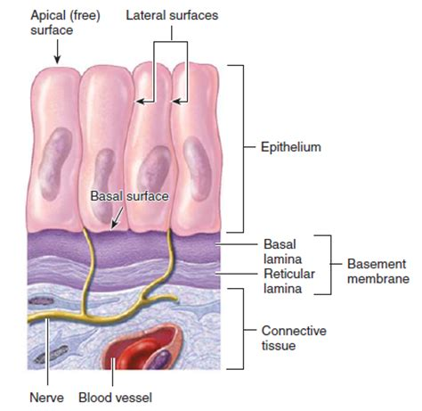 basement membrane of epithelial tissue simple epithelial tissue anatomy and physiology