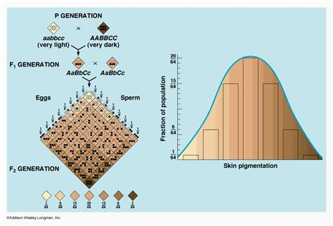 skin color genetics genetics