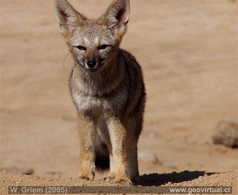 imagenes de animales del desierto animales de atacama zorro del desierto