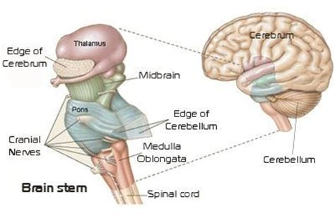 sections of the brain stem why do we have a brainstem quora