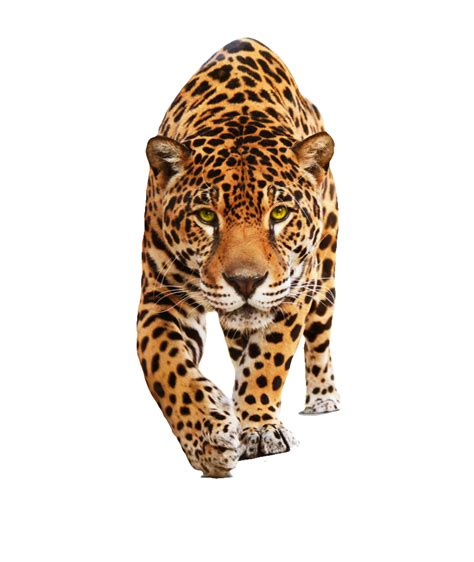 jaguar clipart jaguar clipart transparent pencil and in color jaguar