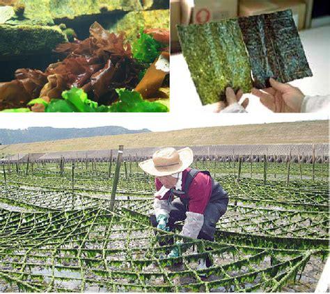 Rumput Laut Nori Seasoned Laver rumput laut indonesia rumput laut sedap dan berkhasiat