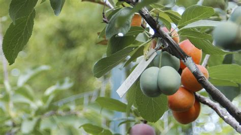 what of fruit grows on trees this tree grows 40 different kinds of fruit eco