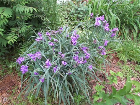 Please Identify These Purple Flowers Ask An Expert Identify Garden Flowers