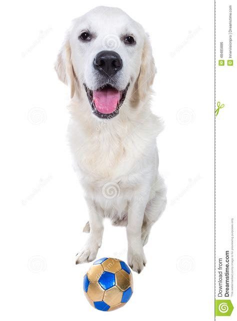 are golden retrievers playful playful golden retriever puppy with stock photo image 48485886