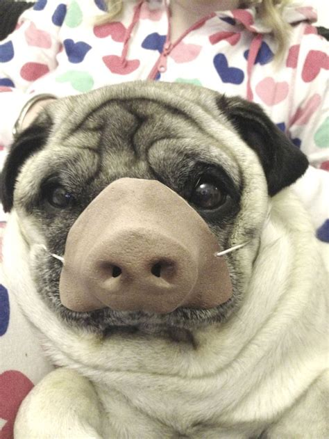 pig the pug costume ideas 224 best images about pug clothes and costumes on apple costume