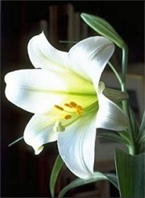 fiore giglio bianco petali di perle fiori fiori singoli giglio bianco