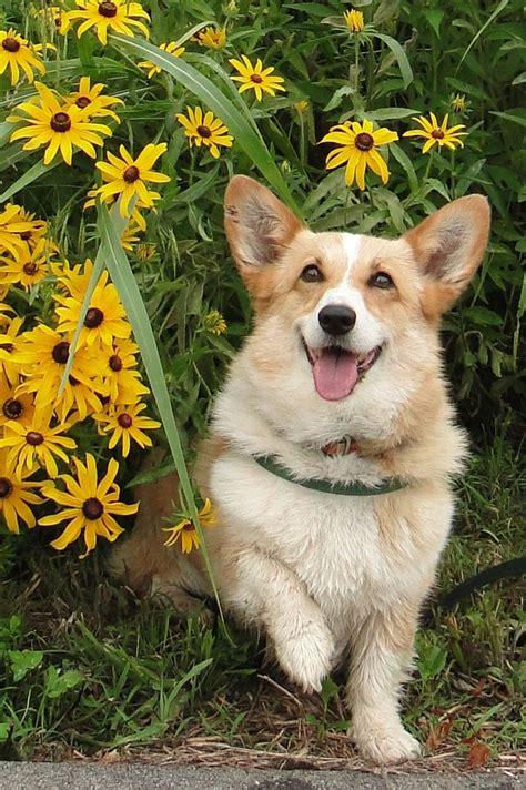 certified comfort dog 17 best images about pets corgis on pinterest