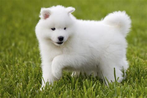 imagenes de mascotas image gallery samoyedo