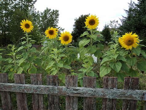 Is Your Garden Environmentally Friendly Sun Flower Garden