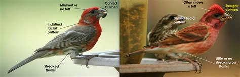 difference between purple finch and house finch brown body with red breast and head louisville ky birdforum