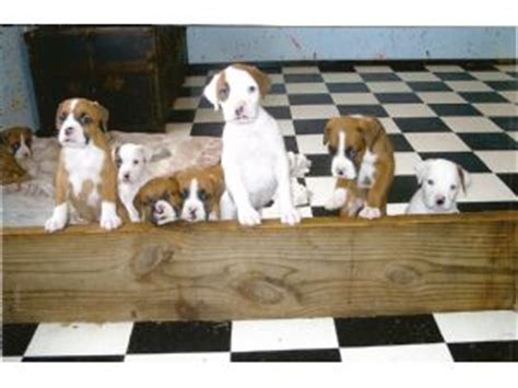 boxer puppies for sale in mississippi akc boxer puppies mississippi breeds picture