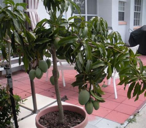 Pupuk Golstar Mempercepat Pertubuhan Tanaman Buah jenis tanaman buah yang bisa ditanam dalam pot bibitbunga