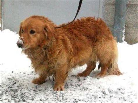 golden retriever basset hound 17 best images about golden corgies on warm dads and washington