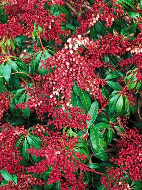flowering shade shrubs best 25 flowering shrubs for shade ideas on