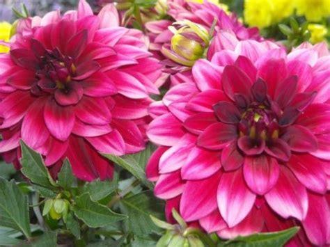 menanam  merawat bunga dahlia  manfaatnya