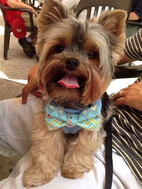 yorkie bow tie 83 best images about my sweet yorkie fargo on sweet yorkie and yorkies