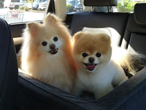 boo the pomeranian owner 15 things only a pomeranian owner will understand