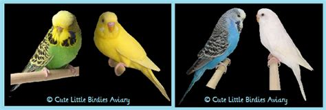 budgie colors budgie parakeet colors www pixshark images