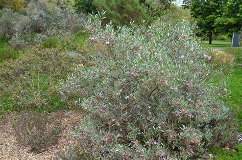 emu bush eremophila platycalyx emu bush gardening with angus